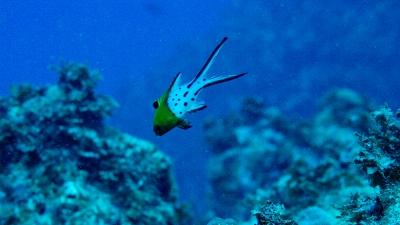 20111011-08ヒオドシベラ幼魚
