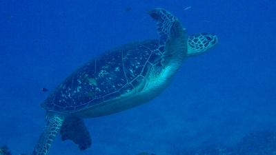 20111012-07アオウミガメ