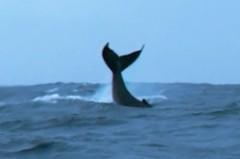 沖永良部島のダイビングとホエールウォッチングテイルスラップ