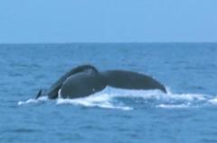 沖永良部島のダイビングとホエールウォッチングフルークダウン
