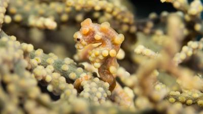 20111029-03黄色のピグミーシーホース