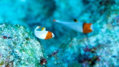 20111103-01イロブダイ幼魚