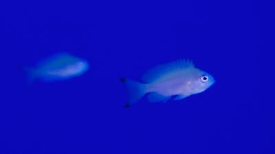 20111106-04ケラマハナダイの幼魚