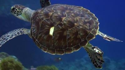 20111109-05タグ付きのアオウミガメ
