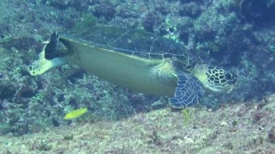 20111112-04アオウミガメ