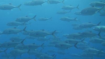 20111117-06ギンガメアジ