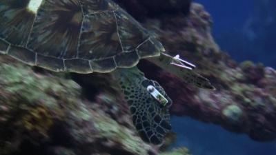 20111119-07タグのついたアオウミガメ