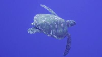 20111213-01アオウミガメ