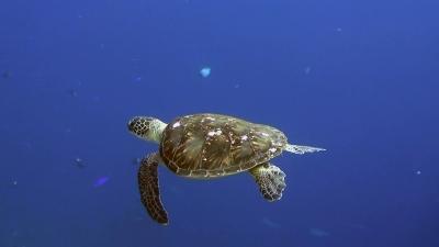 20111227-04アオウミガメ