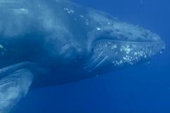 ダイビング中のザトウクジラ