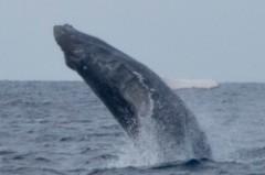 沖永良部島のダイビングとホエールウォッチングブリーチング