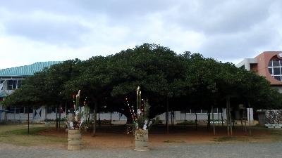 20110110-03 日本一のガジュマル