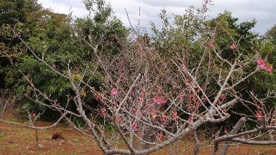 20110111-01 桜