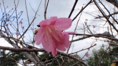 20110111-02 桜