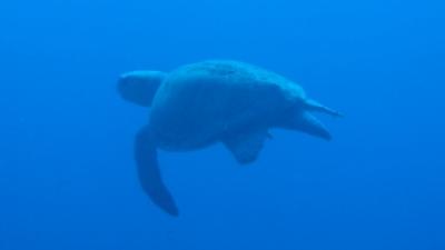 20110113-04 アカウミガメ