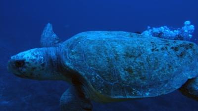 20110116-01アカウミガメ