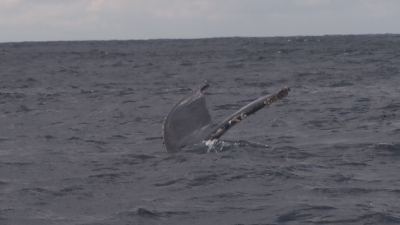 20110117-01ザトウクジラ