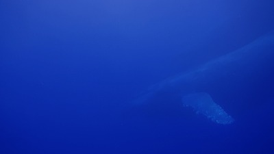 20110117153733(5)ザトウクジラ