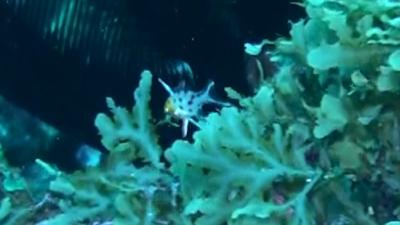 20110118-10ヒオドシベラ幼魚