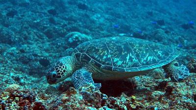 20110118-23アオウミガメ