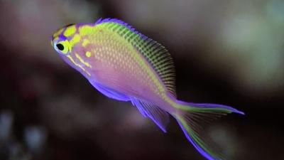 20110119-01ハナゴンベ幼魚