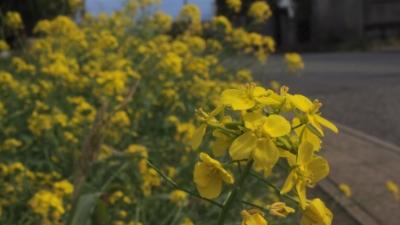 20110119-04菜の花