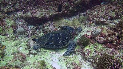 20110123143525アオウミガメ