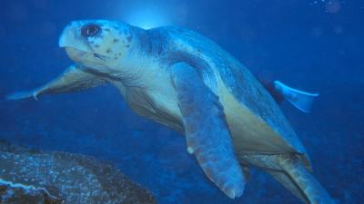 20110128-01アカウミガメ