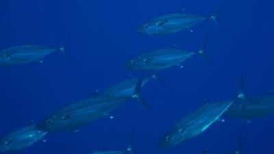20110130-06イソマグロの群れ