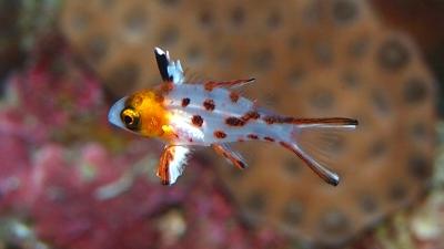 20110131-03ヒオドシベラ幼魚