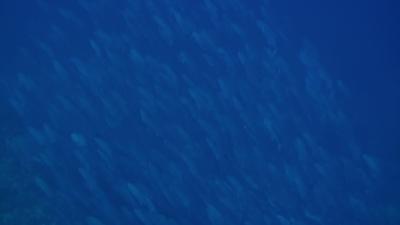 20110207-02沖のギンガメ