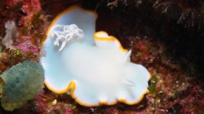 20110212-04メレンゲウミウシ