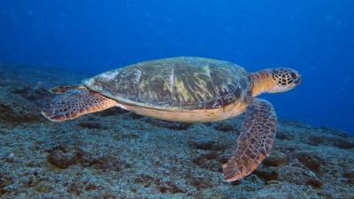 20110213-05アオウミガメ