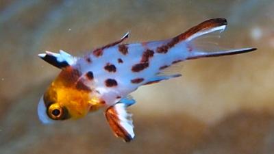 20110214-05ヒオドシベラ幼魚