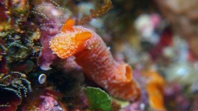 20110217-08オレンジサメハダウミウシ