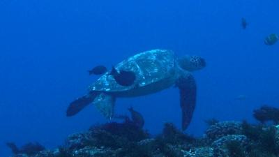 20110223-03クリーニング中のアオウミガメ