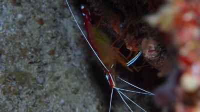 20110223-07アカシマシラヒゲエビ