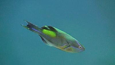 20110227-03ニシキイトヒキベラ