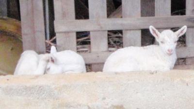 20110301-02ヤギ