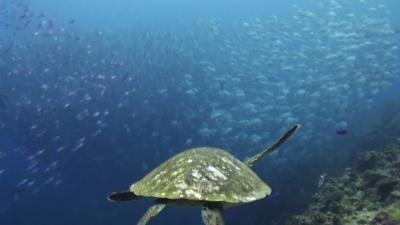 20110302-03ギンガメとアオウミガメ