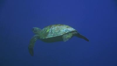 20110304-01右前脚のないアオウミガメ
