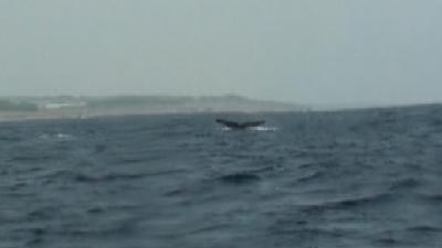 20110309-04ザトウクジラ