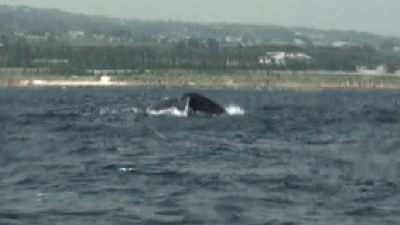 20110309-05ザトウクジラ