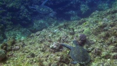 20110309-06アオウミガメ