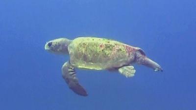 20110309-07アカウミガメ