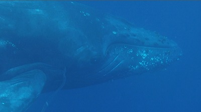 20110312-01ザトウクジラ