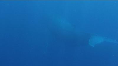20110312-03ザトウクジラの全身
