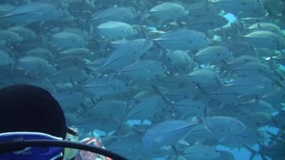 20110313-06ギンガメアジ