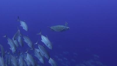 20110318-04アカウミガメとギンガメアジ