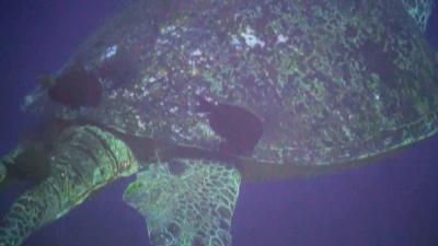 201103221-04クリーニングされるアオウミガメ